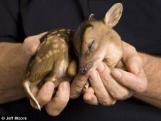baby_deer
